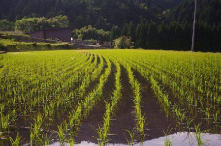 אורז מלא ארוך סוגת