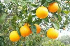 עוגת תפוזים מעודנת
