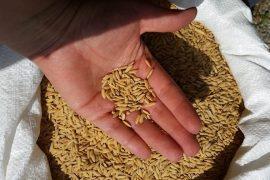 למה אורז חום טוב בשבילנו?