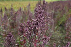 צמח הקינואה
